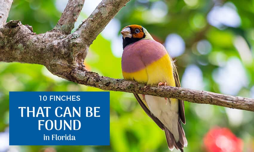 A picture of a Finch perched on a tree branch with text that reads 10 finches that can be found in Florida.
