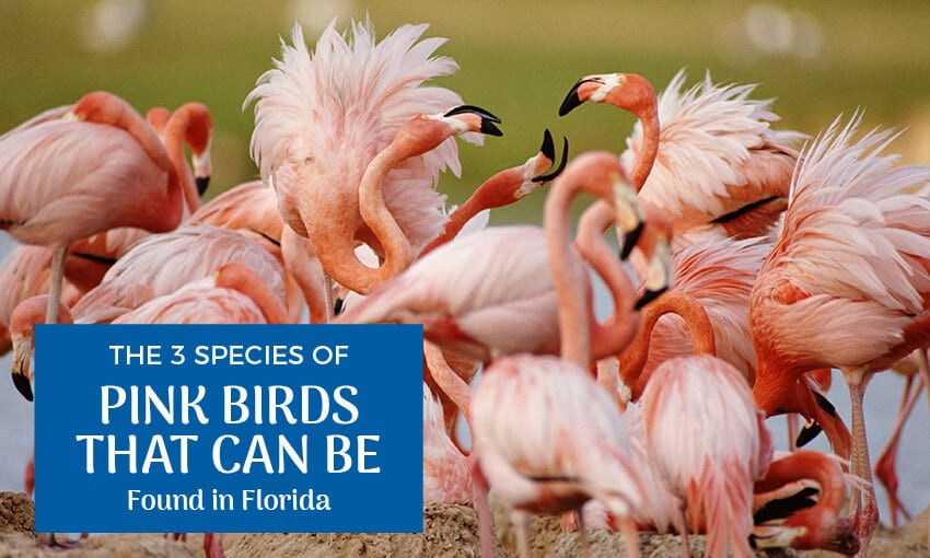 A picture of pink birds with text that reads the 3 species of pink birds that can be found in florida.