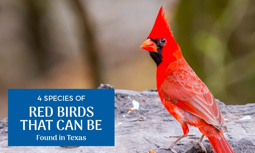A picture of a cardinal standing in dirt. Text reads 4 species of red birds that can be found in Texas.