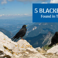 The 5 Species of Blackbirds Found in Texas