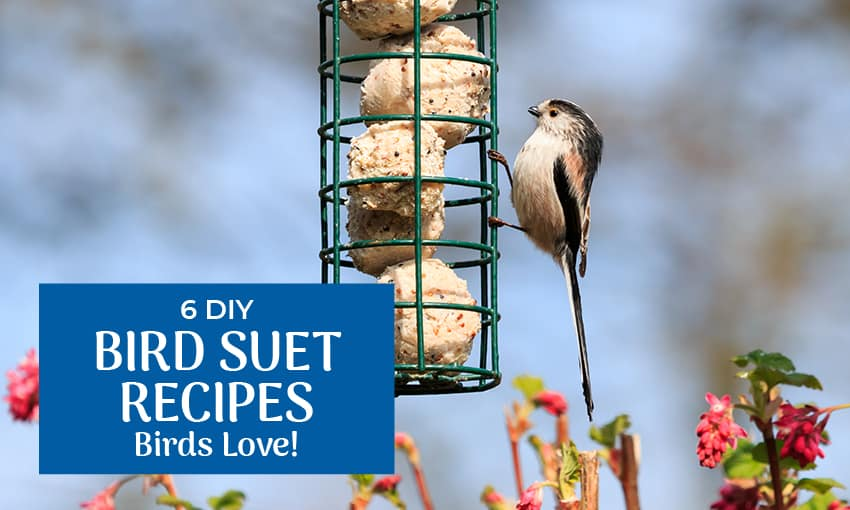 """A picture of a small bird on the outside of a bird feeder filled with suet. Text reads """"6 DIY bird suet recipes birds love."""""""