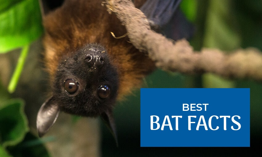 "A picture of a bat hanging. The text reads ""best bat facts."""