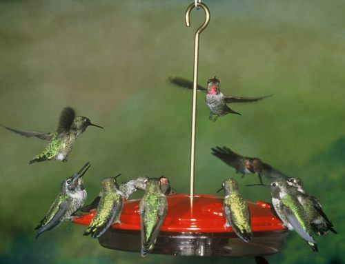 hummingbird feeder food