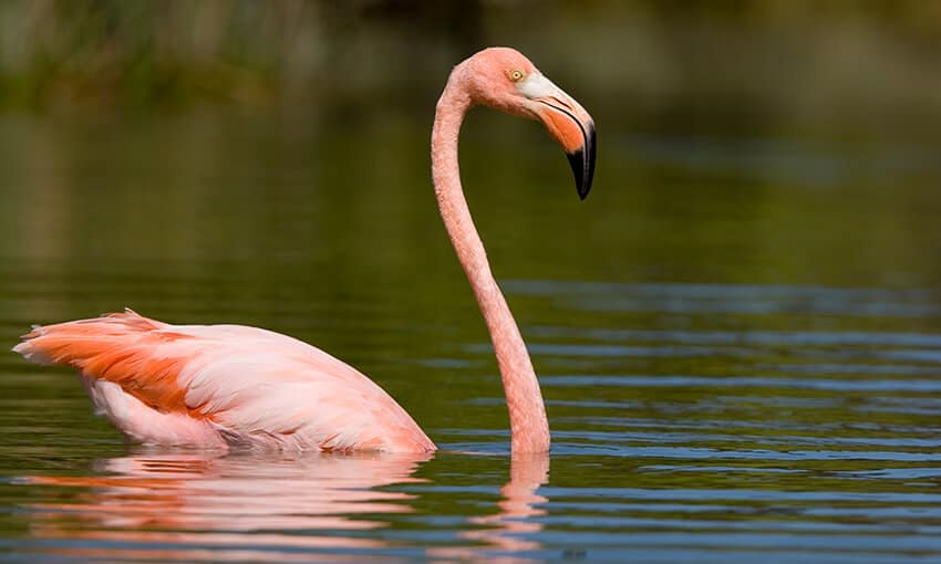A picture of an American Flamingo swimming in the water.