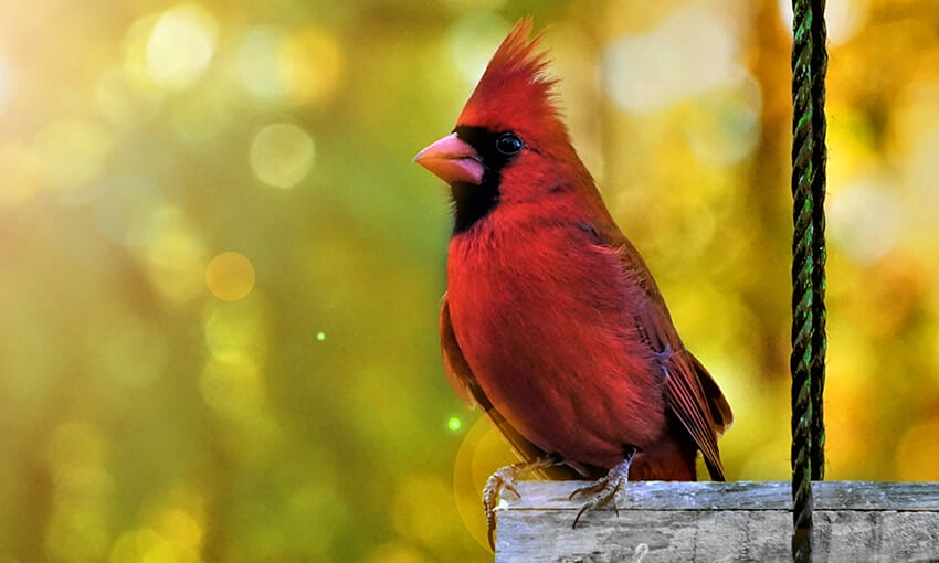 A picture of a male cardinal perched on a bird feeder.