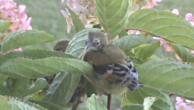 Goldfinch youth prepares to fledge