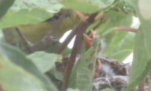 Female Feeding Chicks In The Nest