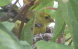 Female Goldfinch Sitting