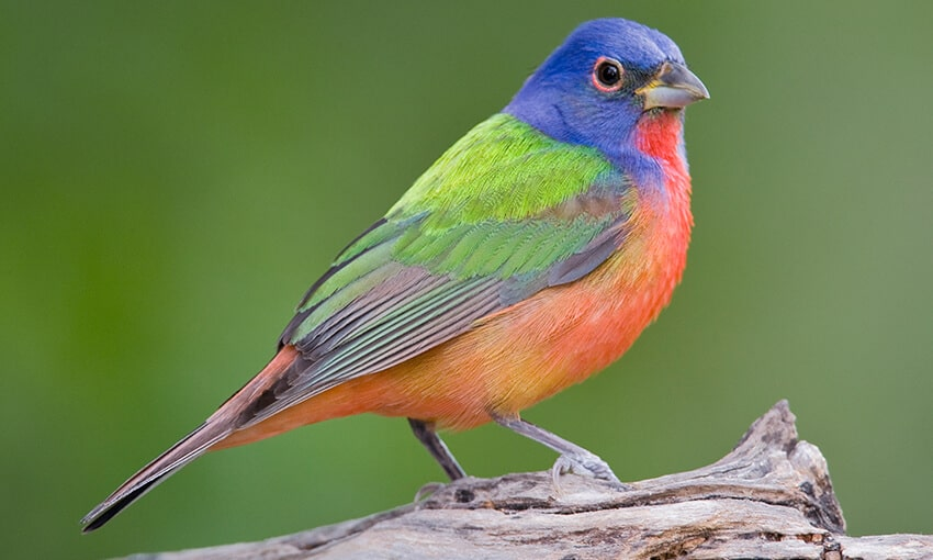 A picture of a painted bunting perched on a log.