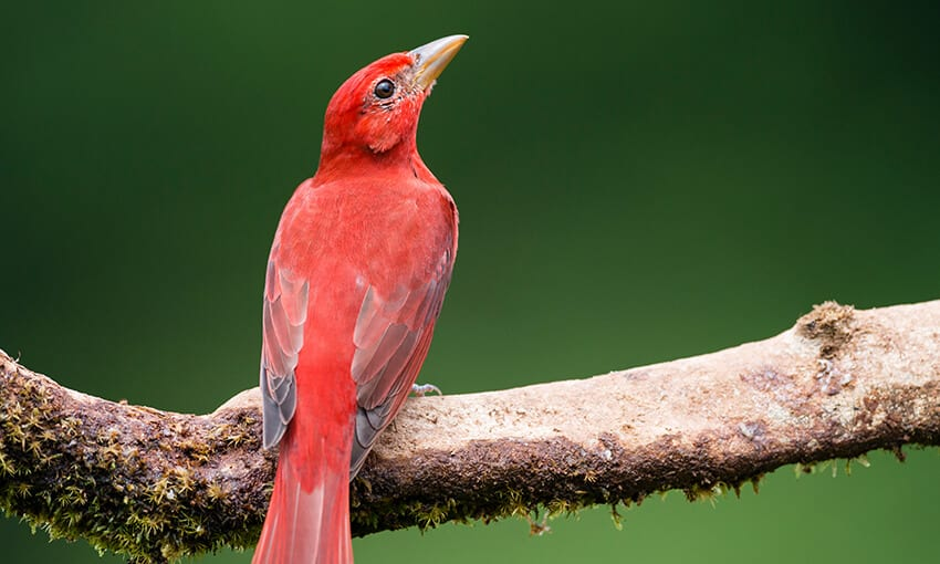 A picture of a  summer tanager perched on a tree branch.