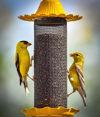 american goldfinch pair eating from a yellow bird feeder.