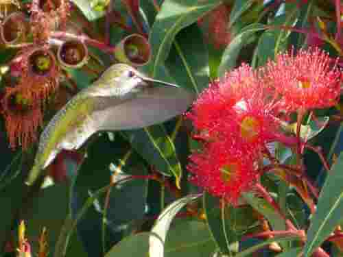annas hummingbird at flower