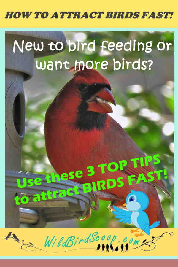 """A Pinterest image of a red cardinal at a feeder with text that reads """"How to attract birds fast! New to bird feeding or want more birds? """""""