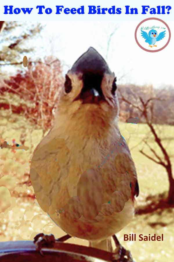 """A bird perched looking into the camera, heading text reads """"how to feed birds in fall?"""""""