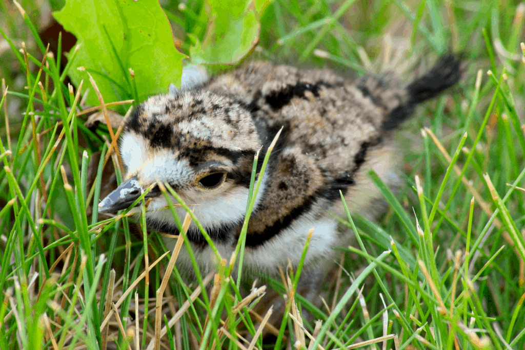 baby kildeer are born with feathers
