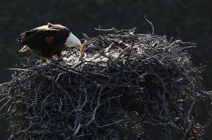 bald eagles nest