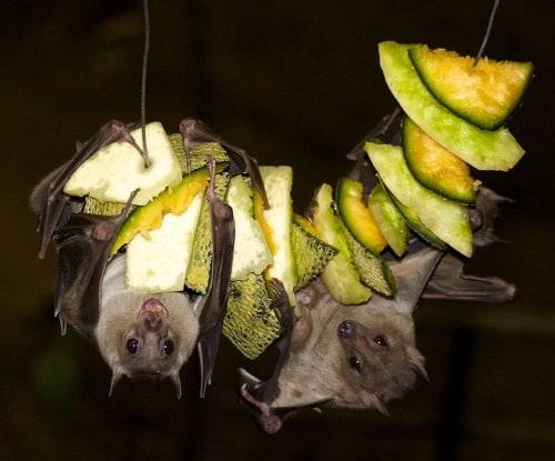 bats eating fruit