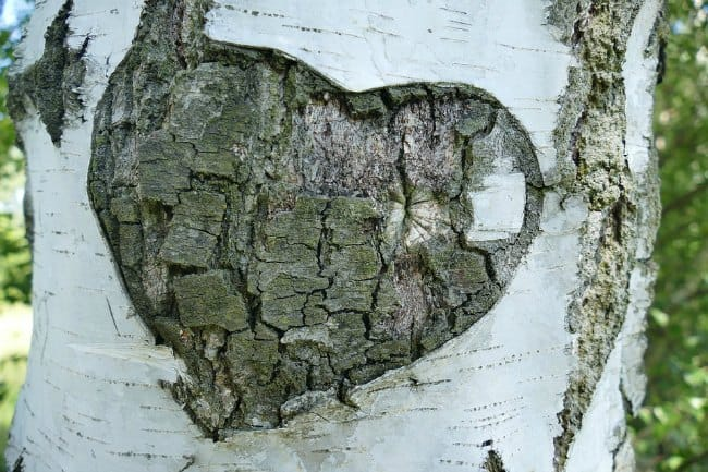 birch tree in sync with woodpeckers
