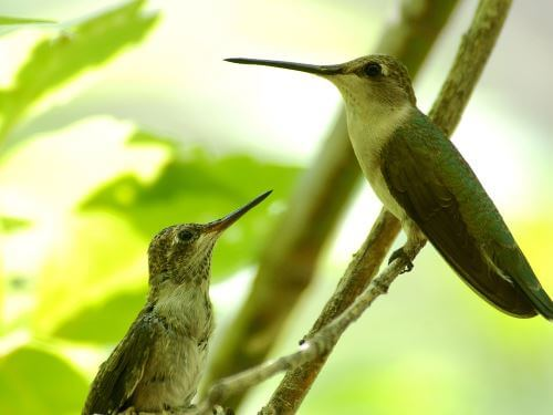 Black-chinned Hummingbird Mom with Fledgling Waiting for a Meal