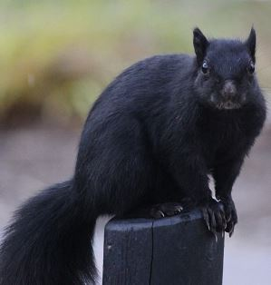 A black squirrel sitting on the top of a post.