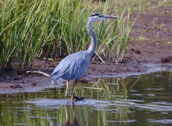 blue heron hunting in a marsh.