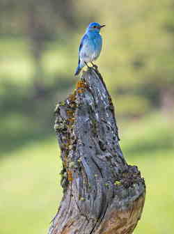 A blue bird perched on top of a dead tree.