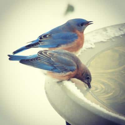 bluebirds drinking from a heated bird bath.