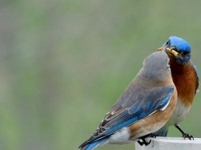 Bluebird Feeding Mealworm To Youth