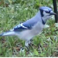 An image of a bluejay standing on the ground.