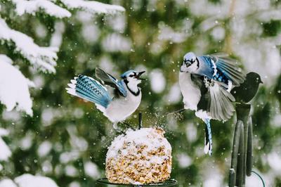 bluejays at suet ball feeder