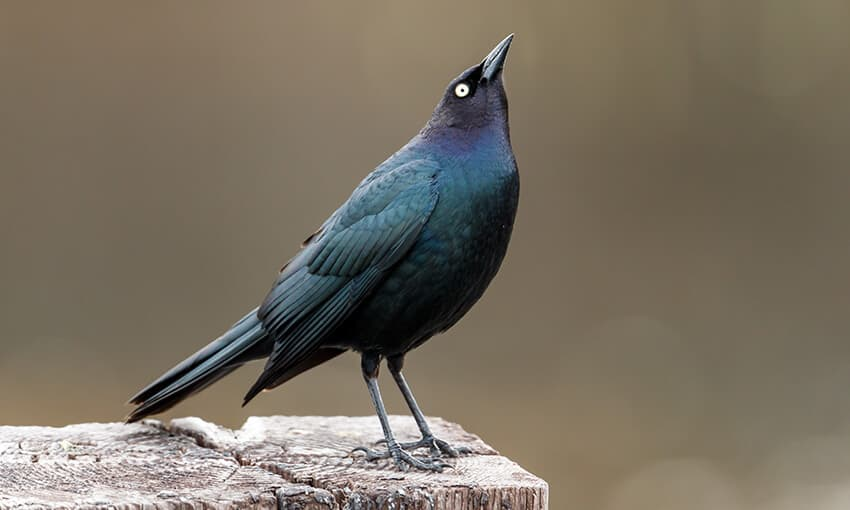 A picture of a brewers blackbird sitting on a piece of wood looking up into the sky.