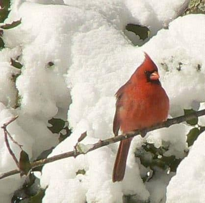 attract cardinals in winter