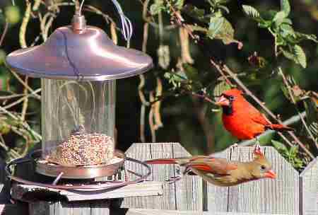 cardinals-eating-at-hopper-feeder