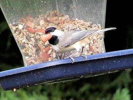 chickadee-at-hopper-feeder-filled-with-mixed-seed