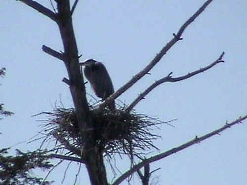 Great Blue Heron on nest in rookery