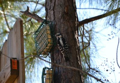 downy woodpecker climbing tree
