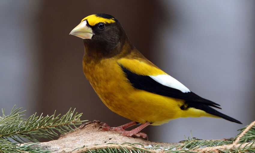 An evening Grosbeak perched on a  pine tree branch.