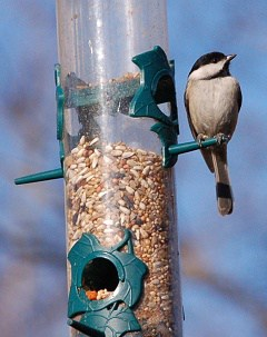 black-capped chickadee at tube style bird feeder