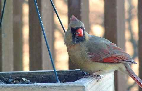 A female cardinal at a bird feeding station.