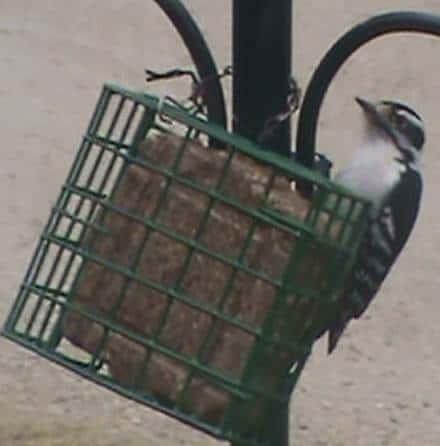 Female Downy Woodpecker at a suet bird feeder