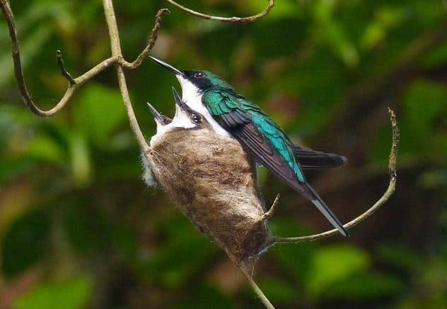 female hummingbird with babies in nest