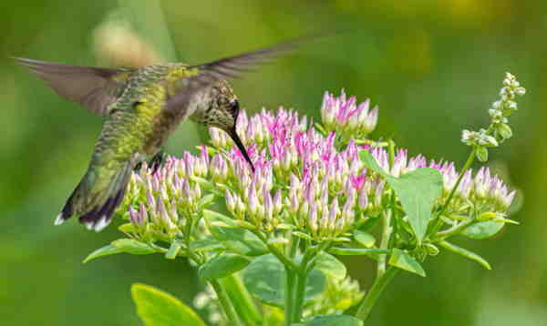 female ruby throated hummingbird getting food from a flower.