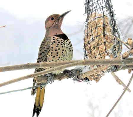 A feeder eating at a homemade bird feeder.