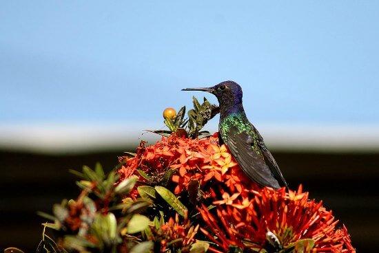 hummingbirds-distribute-plant-pollen