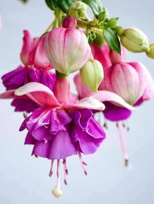 fuchsia attract hummingbirds