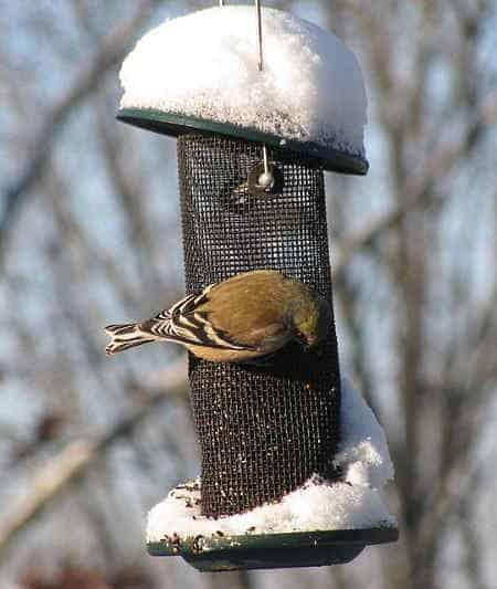goldfinch at winter feeder
