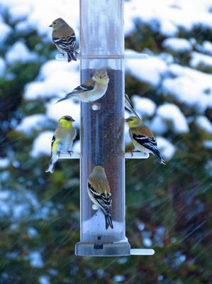 A picture of 5 goldfinches sitting at a tube bird feeder.