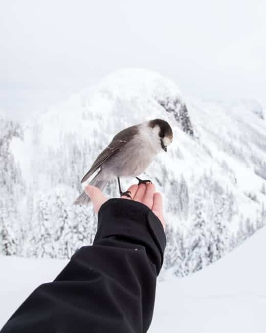 gray jay hand feeding