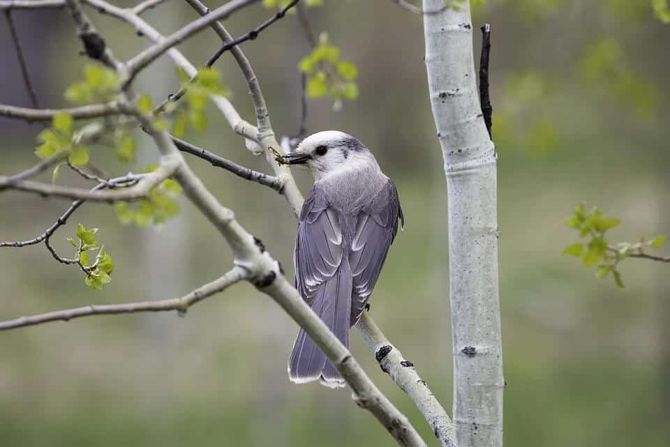 gray jay or meat bird