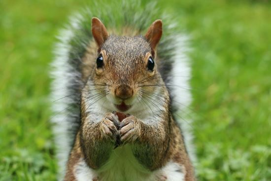 gray-squirrel